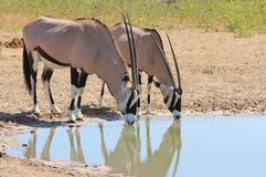 Free African Wildlife - Oryx - Bull And Cow Union Royalty Free Stock Photo - 29555725
