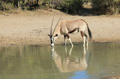 African Wildlife - Oryx, Gemsbuck Reflection Royalty Free Stock Images