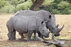 African wildlife safari rhinoceros Royalty Free Stock Images
