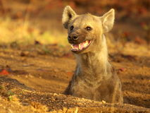 African wildlife. Spotted hyaena with strong teeth Stock Images