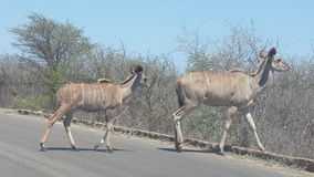African wildlife. Two kudu's in Africa Royalty Free Stock Photography