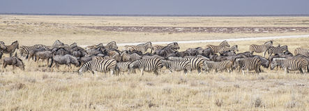 African wildlife Royalty Free Stock Images