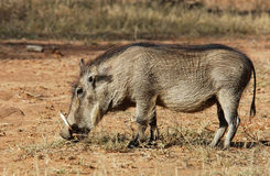 African Wildlife: Warthog Royalty Free Stock Photos
