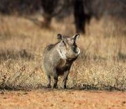 African Wildlife: Warthog Royalty Free Stock Photography