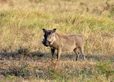 African Wildlife: Warthog Royalty Free Stock Images