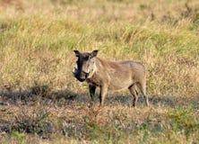 African Wildlife: Warthog Royalty Free Stock Images