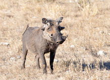 African Wildlife: Warthog. A warthog (phacochoerus aethiopicus) in the Kruger Park, South Africa Royalty Free Stock Photography