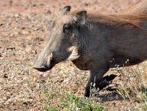 African Wildlife: Warthog Stock Image