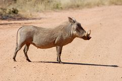 African Wildlife: Warthog. A warthog (phacochoerus aethiopicus) crossing a road in the Kruger Park, South Africa Stock Photos