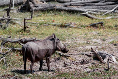 African Wildlife Warthog Royalty Free Stock Photos