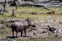 African Wildlife Warthog. National Park Moremi, Okawango, Botswana, wildlife photography Royalty Free Stock Photos