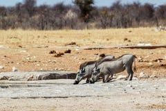 African Wildlife Warthog. African pig Warthog, Etosha national park, Namibia, wildlife Stock Photo