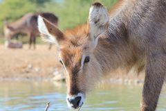 African Wildlife - Waterbuck Calf inspecting Wondrous Life 2. A Waterbuck calf smells a twig at a watering hole, everything being new to him in his young life Royalty Free Stock Image