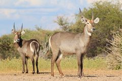 African Wildlife - Waterbuck - Stare Back Brothers Royalty Free Stock Photo