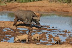 African Wildlife Waterhole Stock Photography
