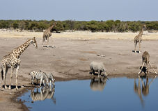African wildlife at a waterhole in Namibia. Wildlife at a busy waterhole in Etosha National Park in Namibia - Black Rhinoceros, Giraffe and Zebra Stock Photo