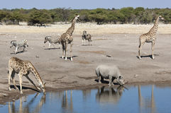 African wildlife at a waterhole in Namibia Stock Images