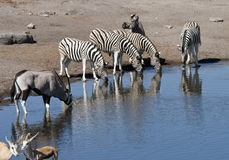 African wildlife at a waterhole in Namibia royalty free stock photo