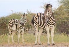 African Wildlife - Zebra, Burchell's - Black and White Stock Photos