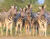African Wildlife - Zebra, Burchell's, Family Photo Stock Images