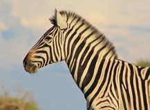 African Wildlife - Zebra, Burchell's, Masterful Pride Royalty Free Stock Photos