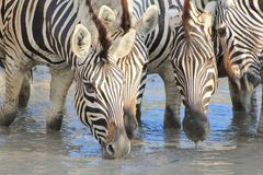 African Wildlife - Zebra, Mare Meeting Stock Photography
