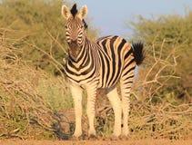 African Wildlife - Zebra, Stallion Pride 2 Stock Photos