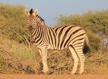 African Wildlife - Zebra, Stallion Pride Royalty Free Stock Photography