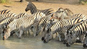 African Wildlife - Zebra, Striped Family Photo Royalty Free Stock Image