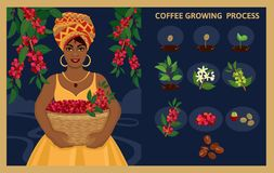 African woman with a basket harvests arabica coffee berries. Plant seed germination stages. Process of planting and growing a coffee tree. Coffee tree Stock Photography