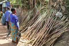 African woman chooses sugar cane on the market. Stock Photography