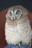 African Wood-Owl Stock Photos