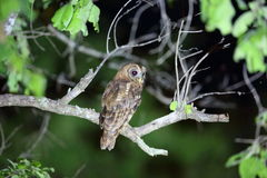 African wood owl. Strix woodfordii in Zambia stock photography