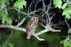 African wood owl. Strix woodfordii in Zambia royalty free stock photos