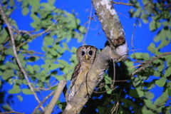 African wood owl. Strix woodfordii in Zambia stock photo