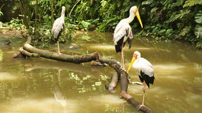 African Wood Storks Stock Images