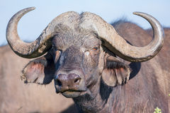 African (Cape) Buffalo Head Portrait Royalty Free Stock Photo