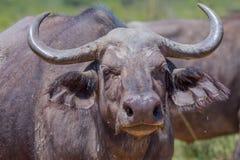 African (Cape) Buffalo Head & Shoulders Stock Photos