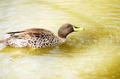 African Yellow-billed Duck (Anas u. undulata) Royalty Free Stock Image