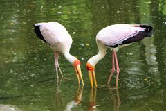 African yellow billed feeding at the lake Royalty Free Stock Photography