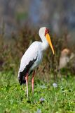 African yellow-billed stork Stock Photo