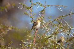 African Yellow Finch. Wild bird at Central Kalahari Games reserve in Botswana Royalty Free Stock Photos