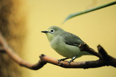 African yellow white-eye Stock Image