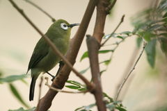 African yellow white-eye bird Royalty Free Stock Photo