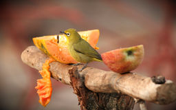 African Yellow White Eye Stock Photography