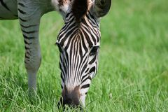 African Zebra Stock Photo