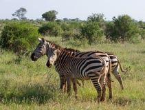 African Zebra. Stripped kenya national park Stock Image