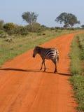 African Zebra. Stripped kenya national park Royalty Free Stock Images