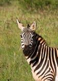 African Zebra. Stripped kenya national park Stock Photos