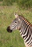 African Zebra. Stripped kenya national park Stock Photography